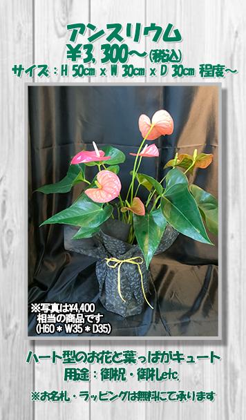 お祝い花鉢アンスリウム