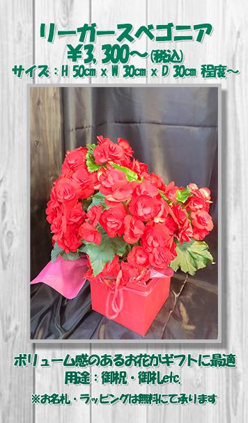 お祝い花鉢リーガースベゴニア
