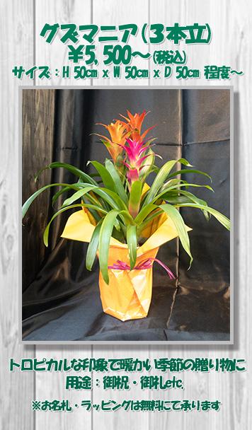 お祝い花鉢グズマニア